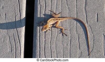 Everglades lizard close up