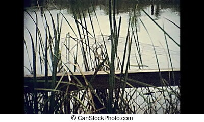 Alligator swimming in the Everglades National Park in Florida. Historical United States of America in 1979.