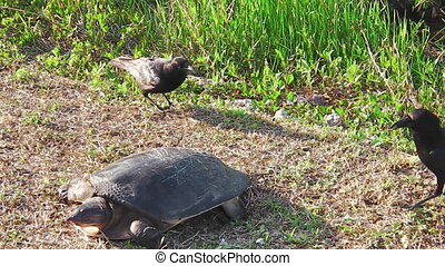 Everglades softshell turtle protecting its eggs from the...