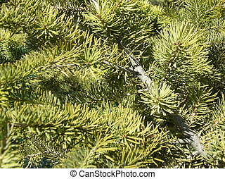 a background of evergreen boughs