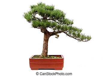 Evergreen bonsai on white
