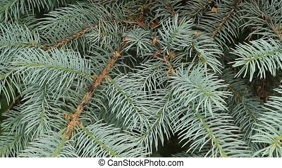 evergreen boughs - fresh evergreen boughs blowing in the...