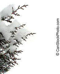 Evergreen branch from tree covered in freshly fallen snow