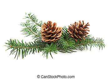 Evergreen branch of Christmas tree with cones