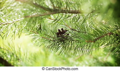 Evergreen branch pine tree
