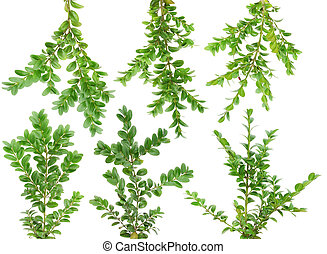 """Evergreen plants Boxwood """"Buxus"""" branches set isolated on white."""
