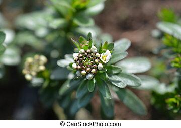 Evergreen candytuft Schneeflocke