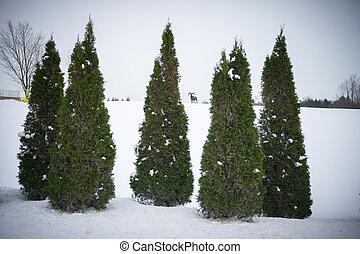 Evergreen Cedar Trees in Winter - Five Evergreen Cedar Trees...
