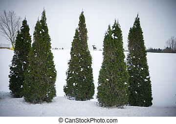 Evergreen Cedar Trees in Winter - Five Evergreen Cedar Trees...