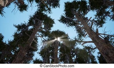 Evergreen forest from below view realistic footage. Sun...