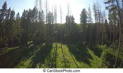 Evergreen forest from view-point, Neamt county, Romania