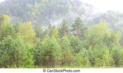 Evergreen Forest Overview. Tops of Tall Green Trees with Dense Fog Rolling  Over