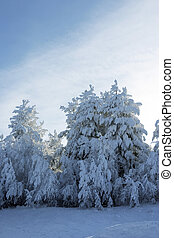 Evergreen fur trees and pines covered by a snow on the eve of Christmas