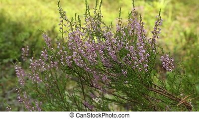 evergreen heather blooming close to, camera motion