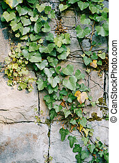 Evergreen ivy on a stone wall made of heavy gray slabs.