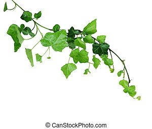 Evergreen Ivy vine isolated on white