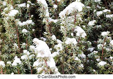 juniper branch under snow