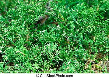 "evergreen juniperus sabina ""variegata"" cossack nature background"