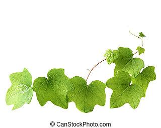 evergreen, klimop