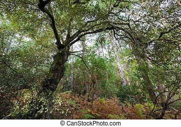 Evergreen oak in forest