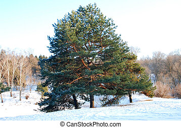 Evergreen pine tree