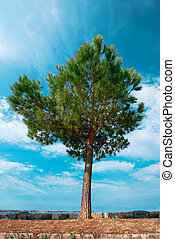 Evergreen pine tree on seaside promenade