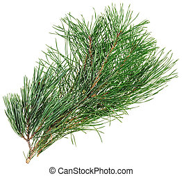 Evergreen pine twig isolated on white, closeup view