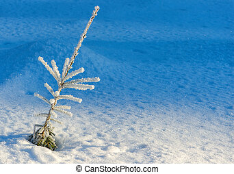 Evergreen plant in winter