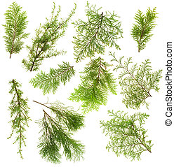 Various isolated on white coniferous evergreen plants branches set