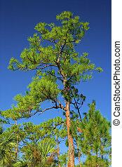 Evergreen - pond cypress tree,