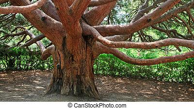 "evergreen red tree \""Arbutus andrachne\"" (Crimea, Ukraine) -..."