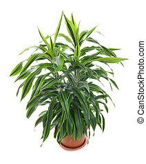 evergreen, rośliny, bylina, -, chlorophytum, flowering