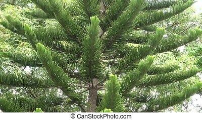 Evergreen tall tree