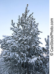 evergreen tree covered by a snow on a background of the clear sky
