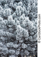 evergreen tree covered with frost