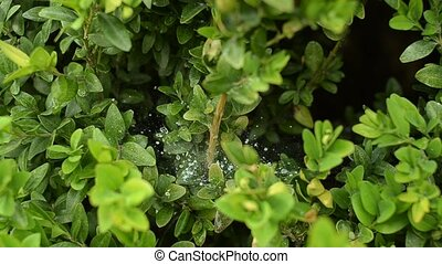 Evergreen trees and shrubs Buxus. Spider web with dew on a branch.