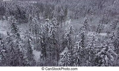 Evergreen trees in silent white winter - Amazing view from...