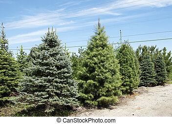 evergreen trees in spring