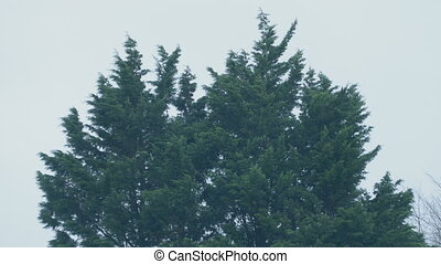 Evergreen Trees In Storm Winds - Large evergreen trees on...