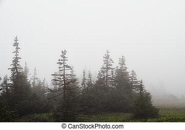 Evergreens in a Fog