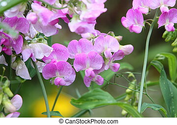 everlasting  sweet pea - everlasting sweet pea