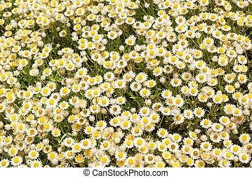 Everlastings or Coastal Fynbos Flowers - Everlastings or...