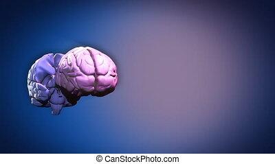 evidenziato, cervello, parti