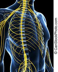 evidenziato, nervo, maschio, sistema
