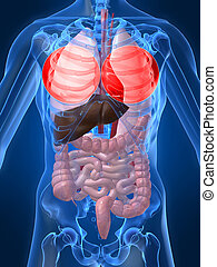 evidenziato, polmone