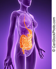evidenziato, sistema digestivo