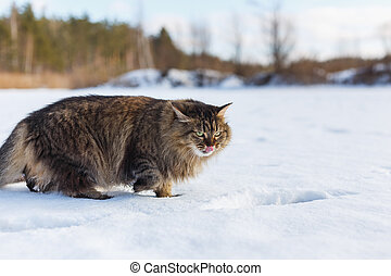 Evil fluffy cat in winter snow licking
