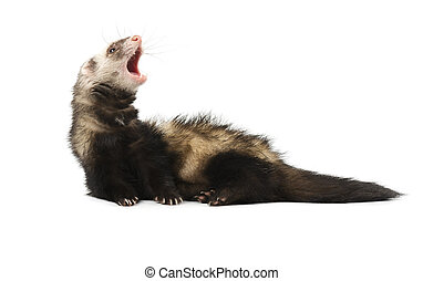 Evil grey ferret in full growth, isolated on white background