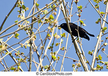 Evil Looking Common Grackle Perched in a Tree