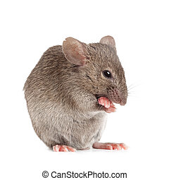 evil mouse isolated on white